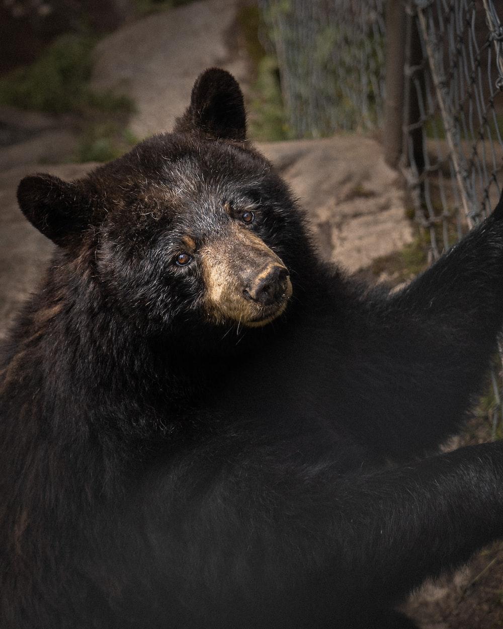 black bear on brown soil during daytime