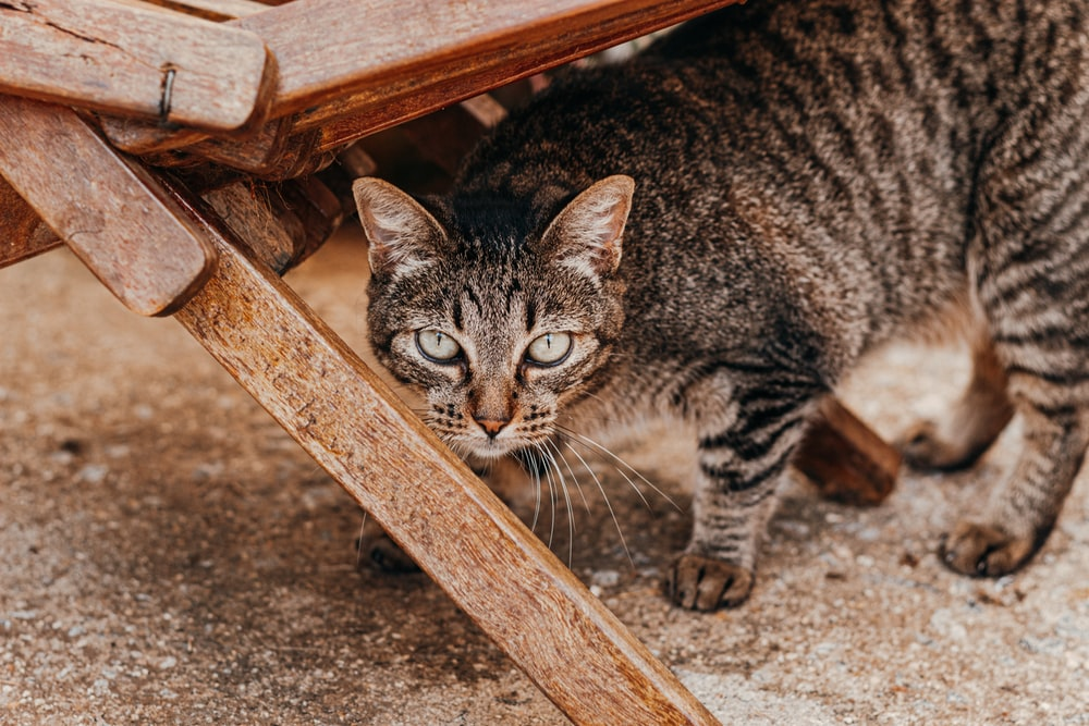 silver tabby cat on brown wooden bench