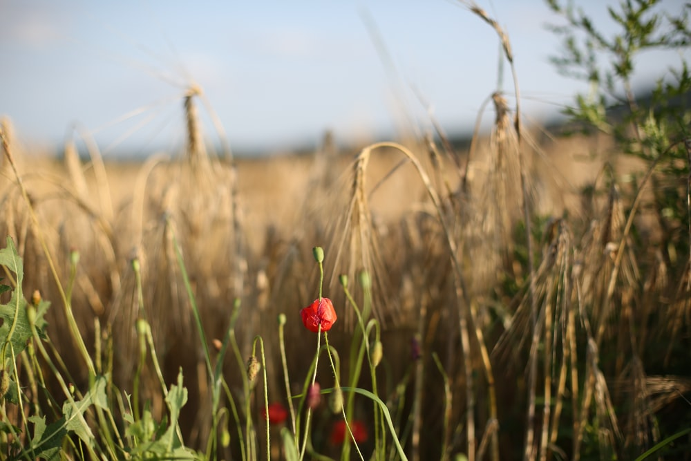 red flower in the field during daytime