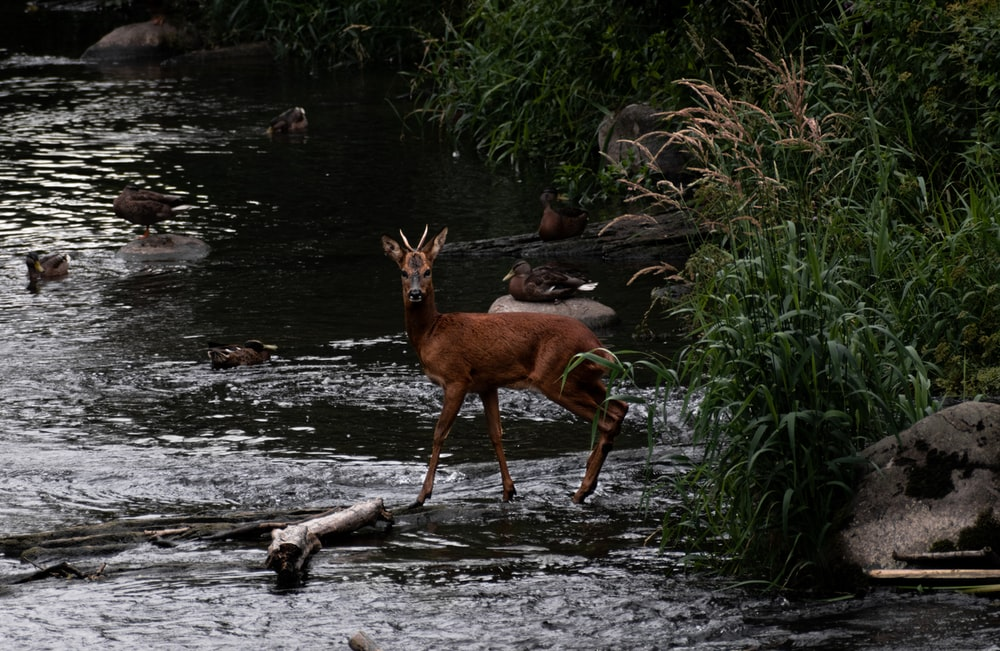 brown deer on river during daytime