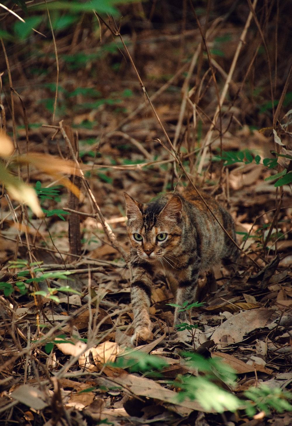 brown tabby cat on brown dried leaves