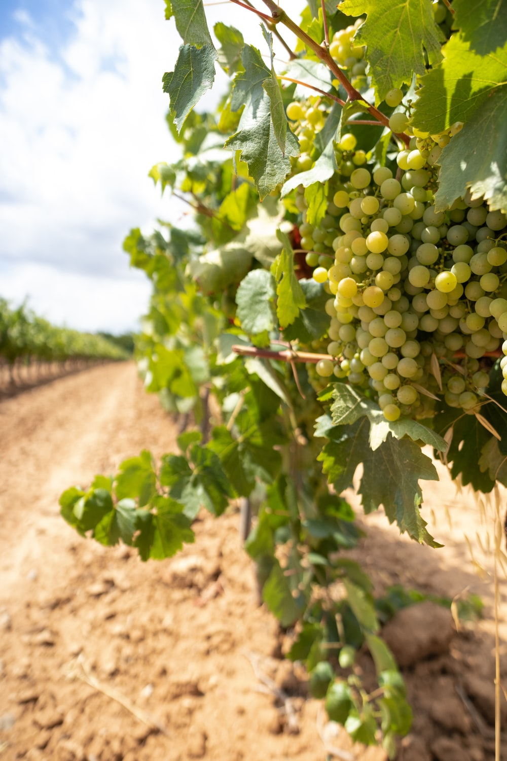 green grapes on brown soil during daytime