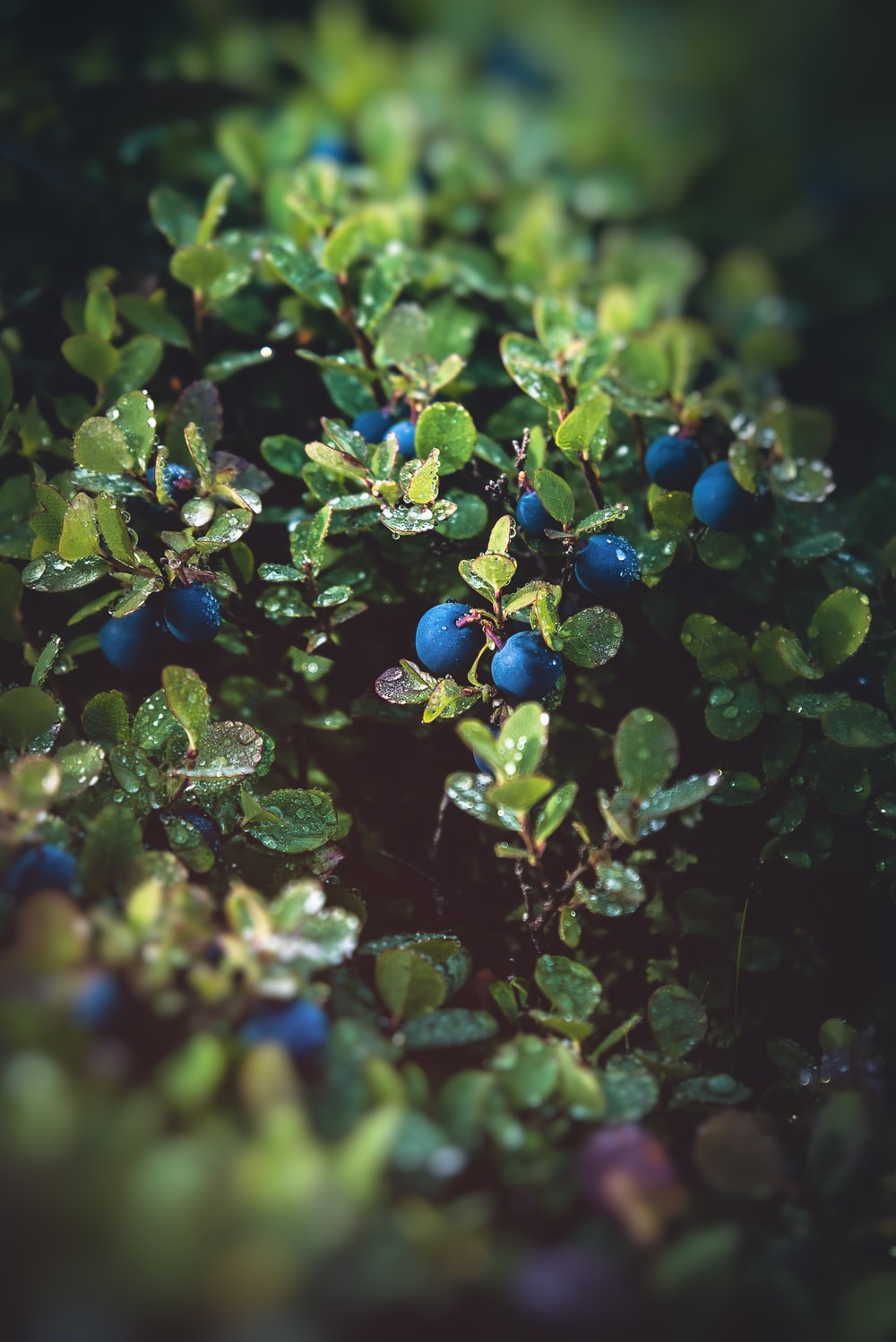 blue round fruits on green leaves
