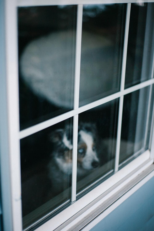 black and white short coated dog on window