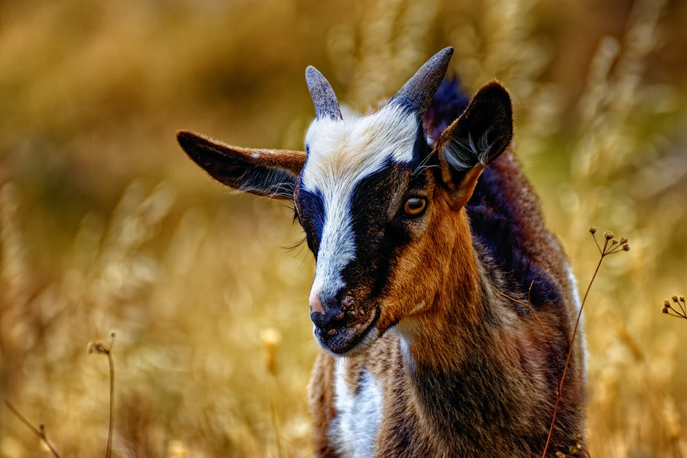 brown and white goat on brown grass field during daytime