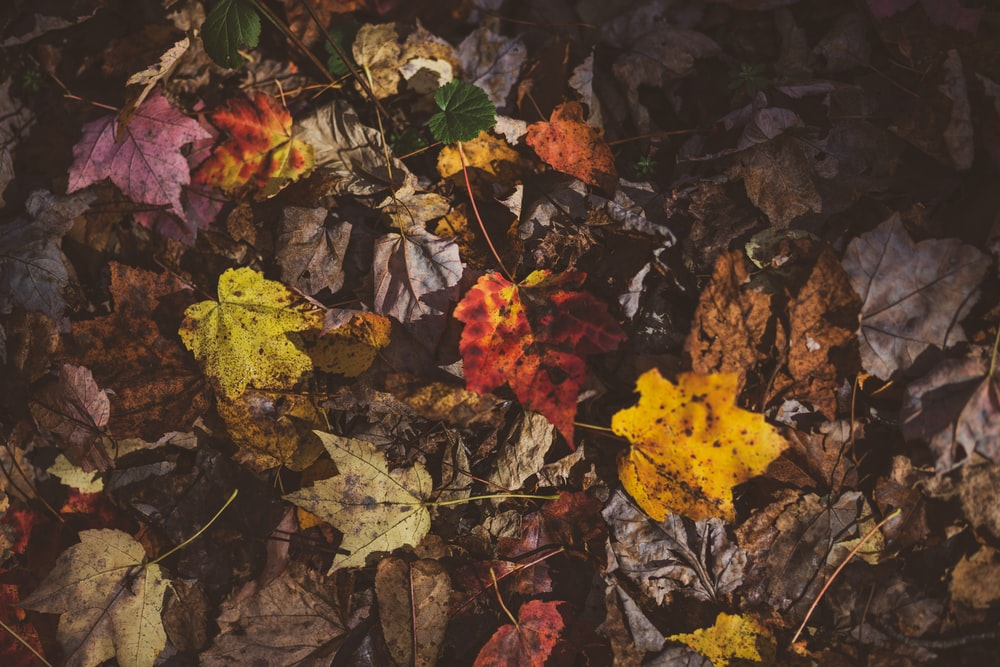 yellow and red maple leaves on ground