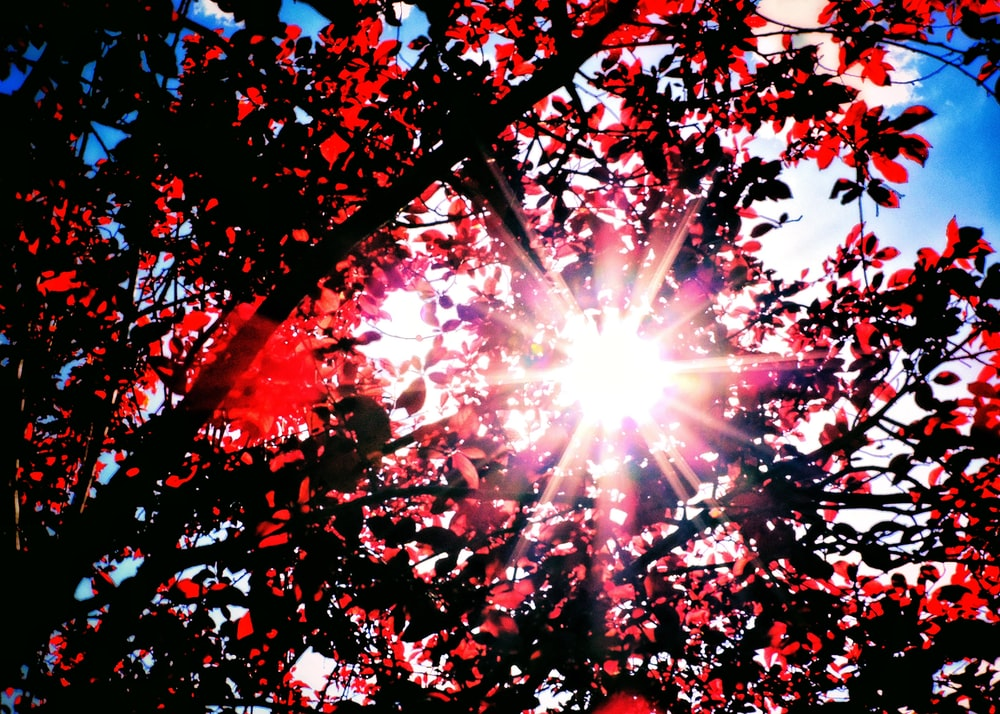 sun rays coming through red leaves