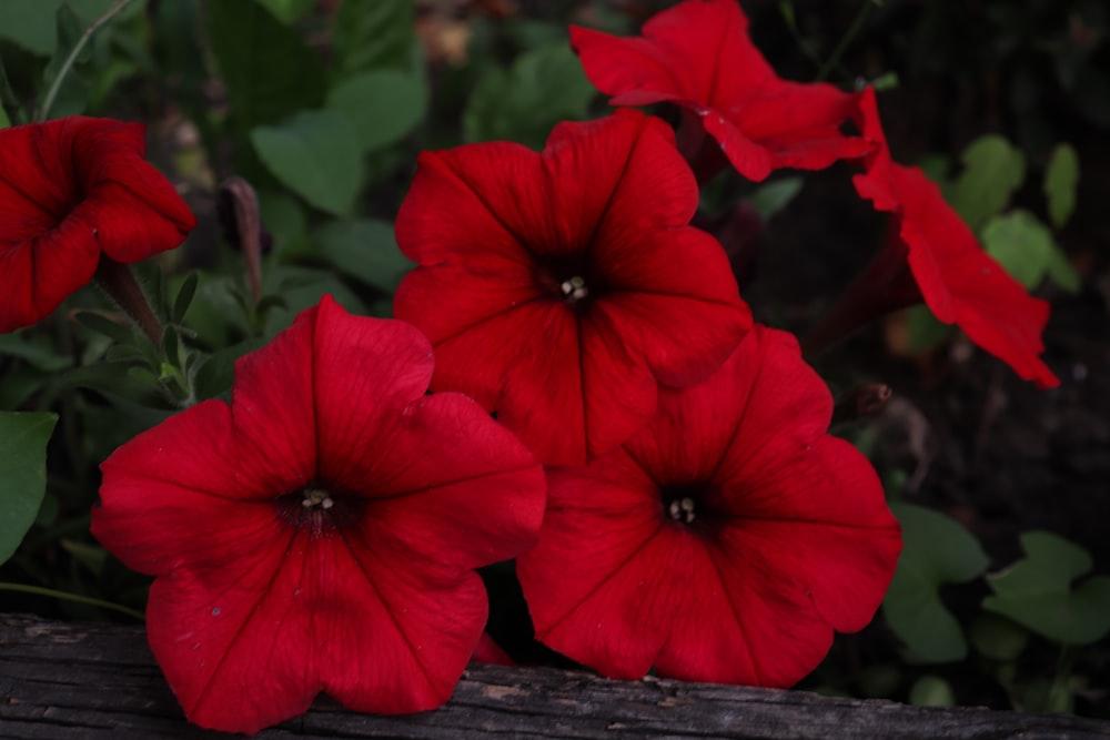 red 5 petaled flower in bloom during daytime