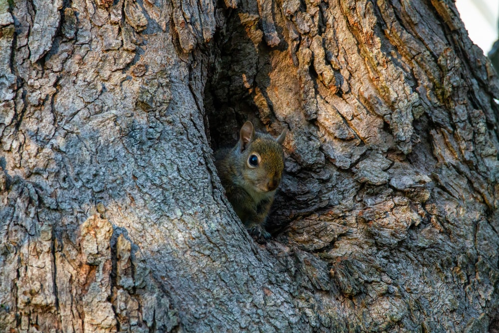 brown squirrel on brown tree