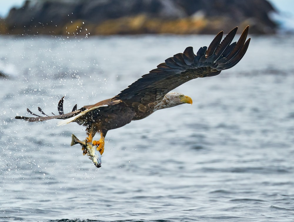 black and white eagle flying over the sea during daytime