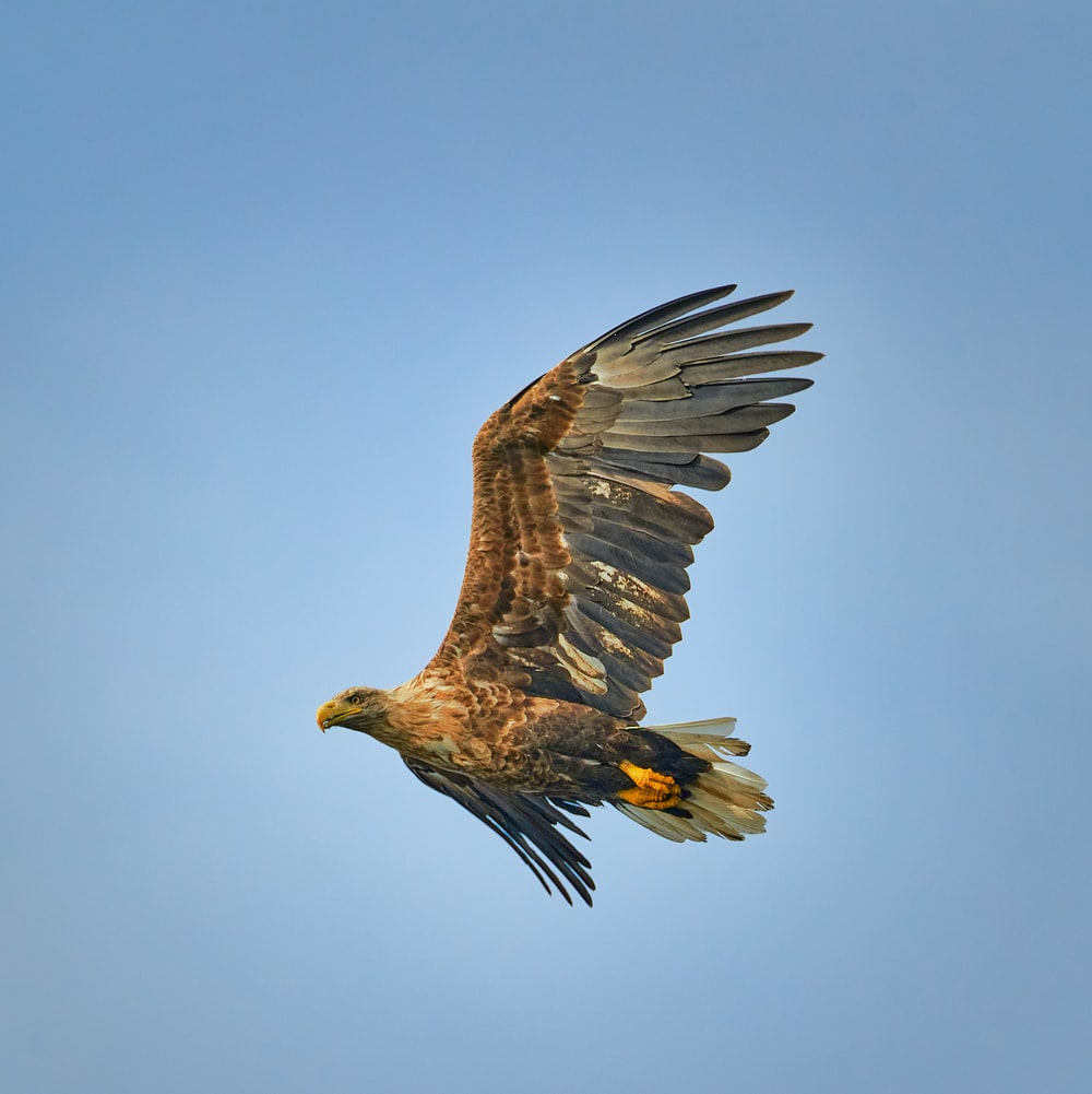 brown and white eagle flying under blue sky during daytime