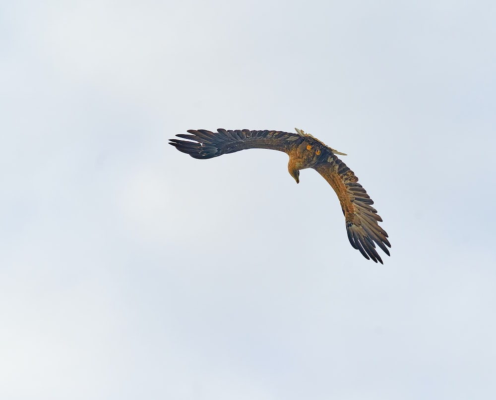 brown and white eagle flying under white clouds during daytime