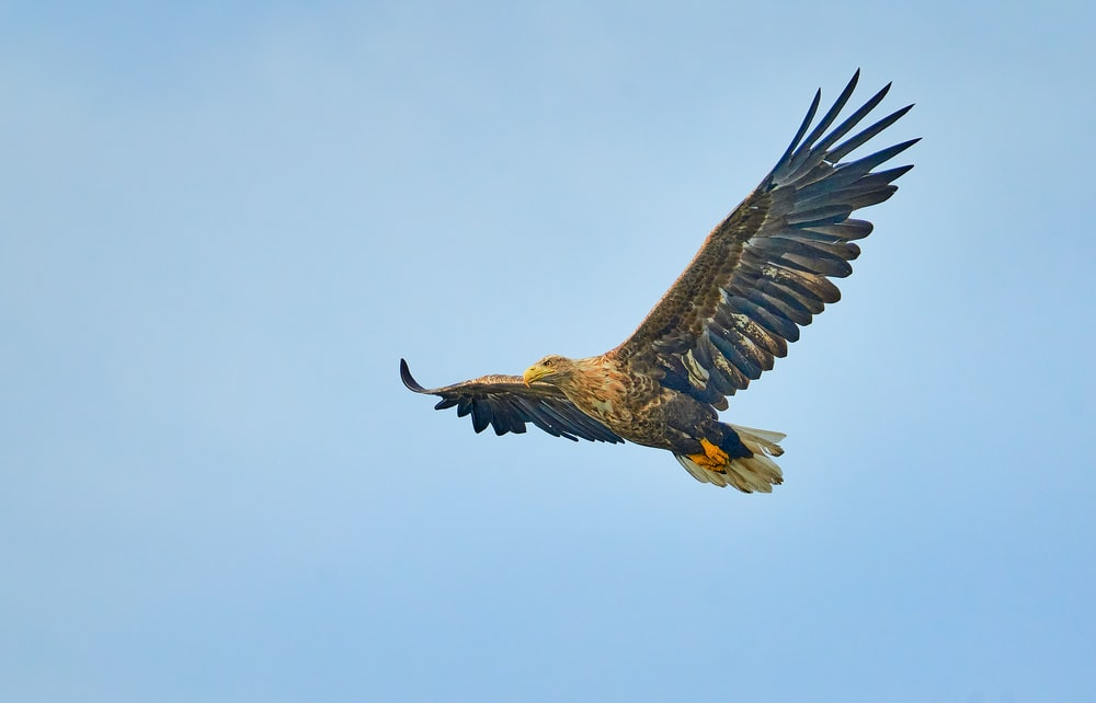 brown and black eagle flying under blue sky during daytime