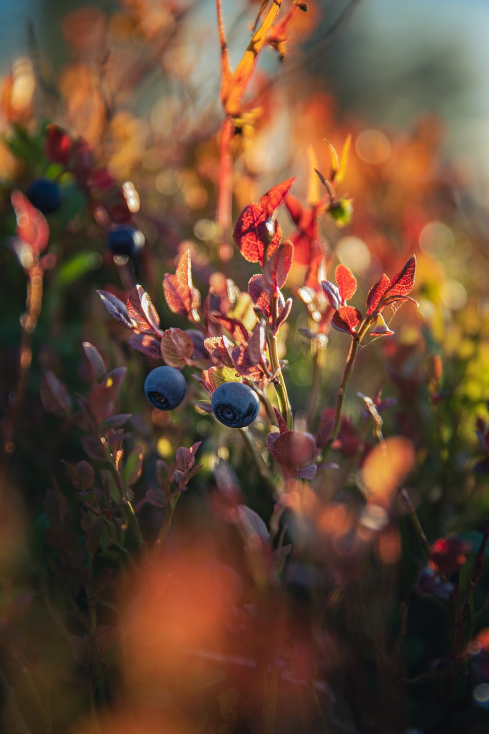 blue and red flower buds