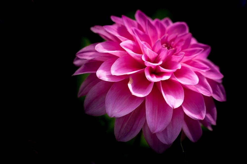 pink flower in black background