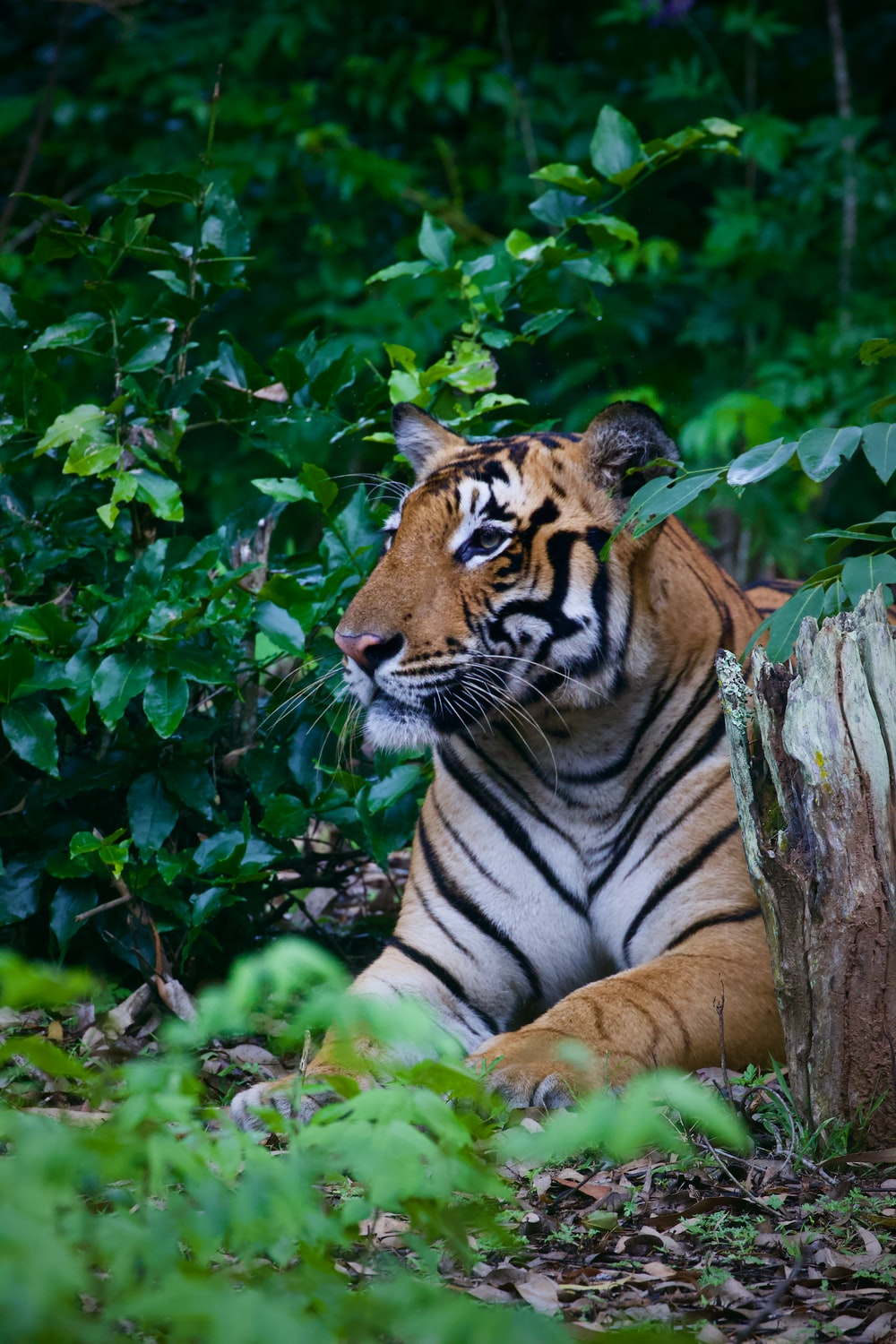 brown and black tiger lying on ground beside green leaves during daytime