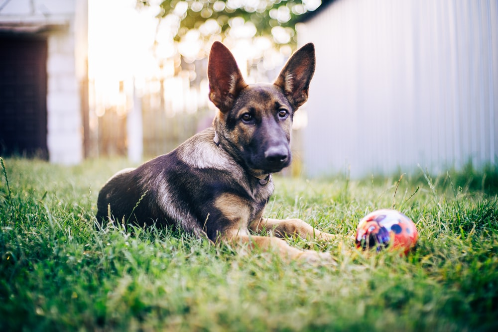 black and tan german shepherd puppy playing with white and red soccer ball on green grass