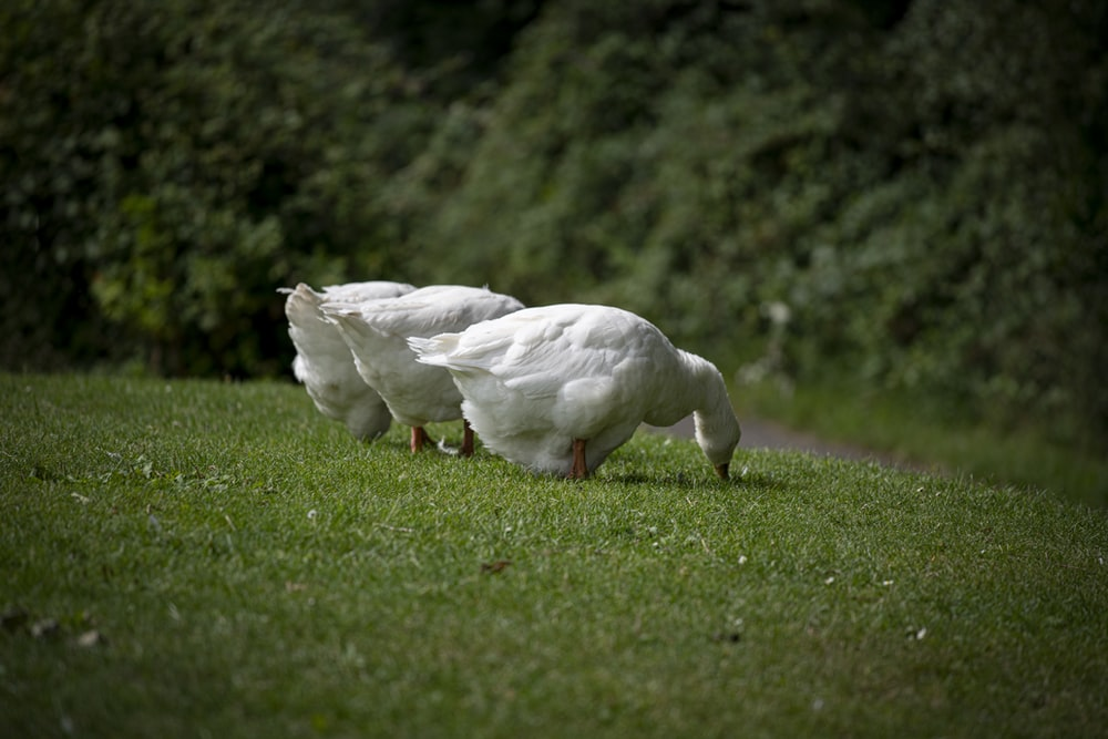white duck on green grass field during daytime