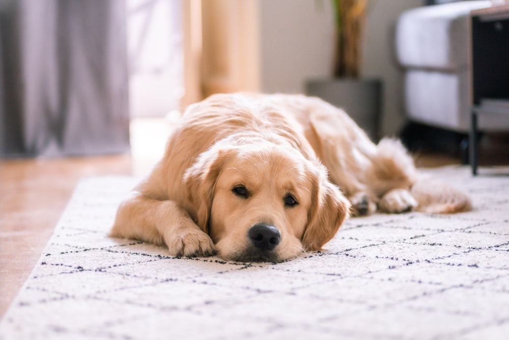golden retriever lying on white floor