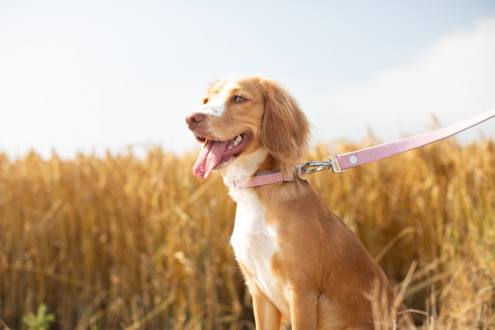 brown and white short coated dog with purple leash