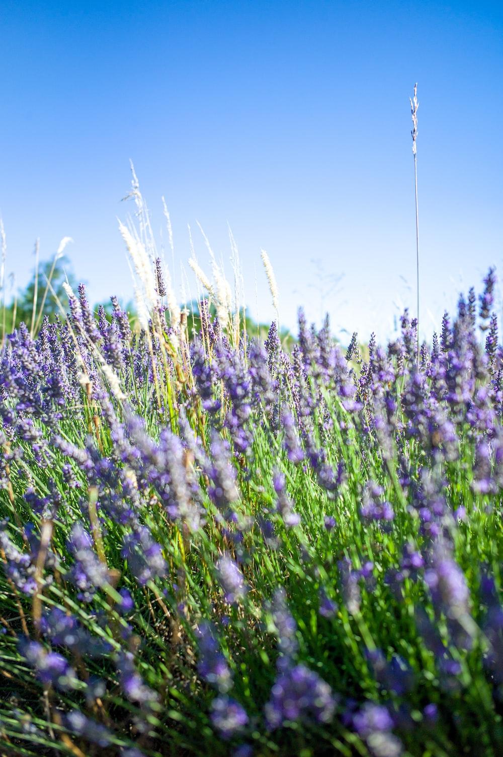 purple flower field under blue sky during daytime