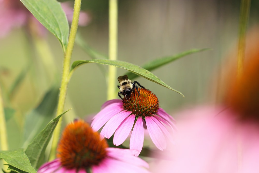 black and yellow bee on pink flower