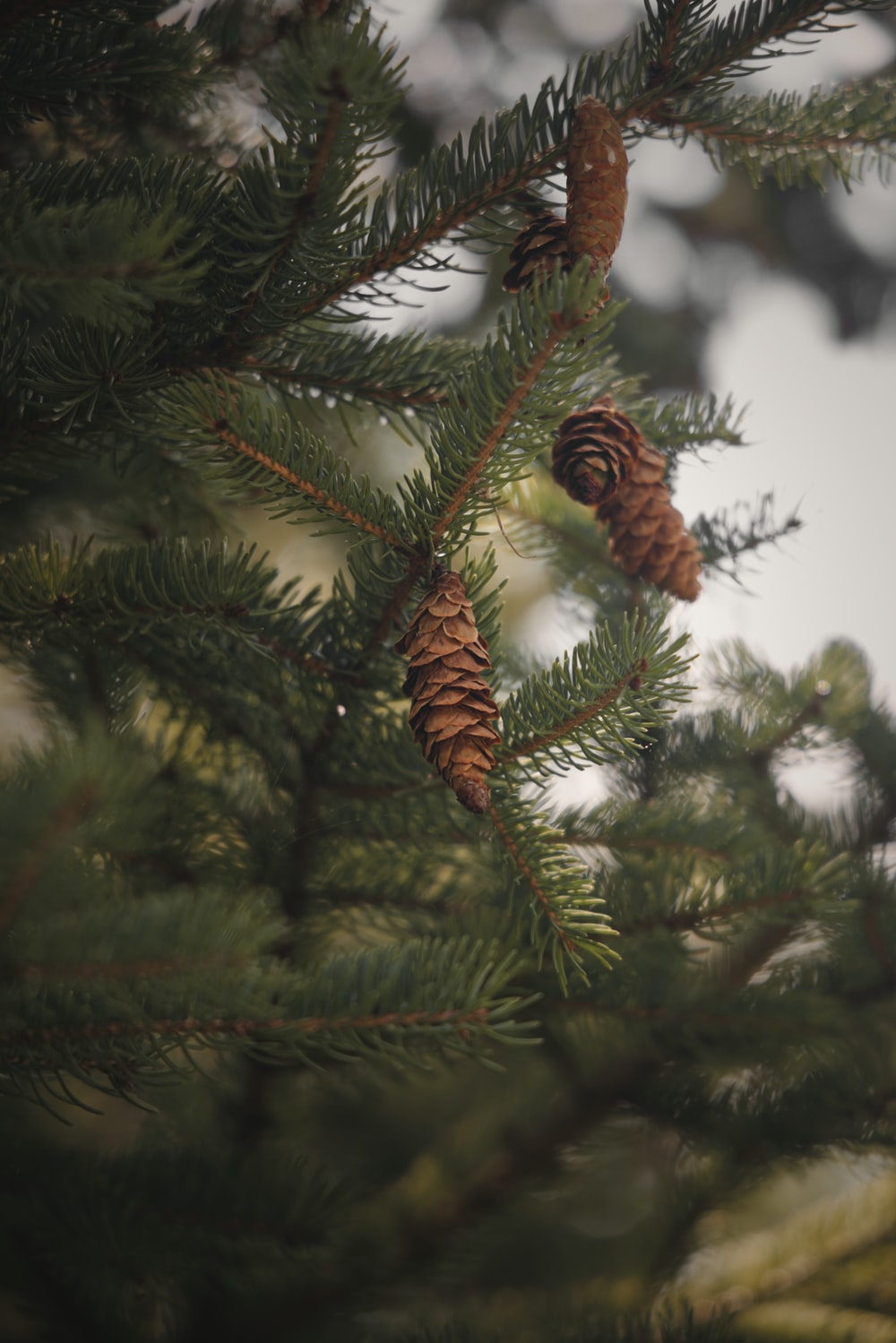green pine tree with brown leaves