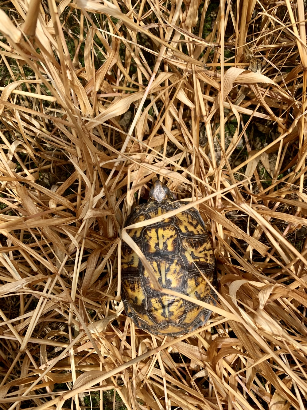 brown and black turtle on brown dried grass