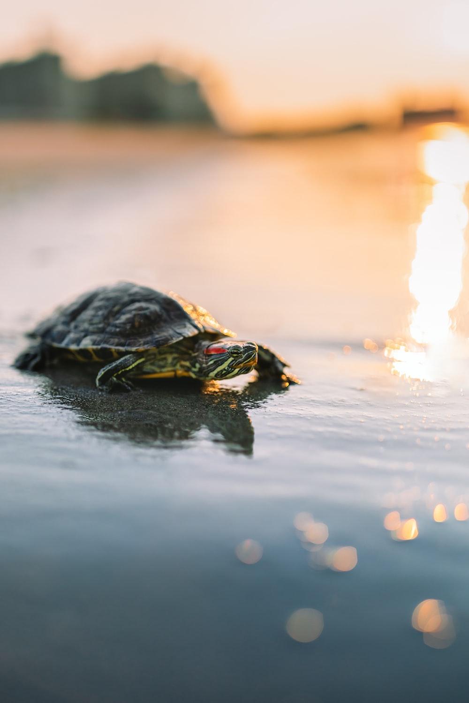 black turtle on water during daytime