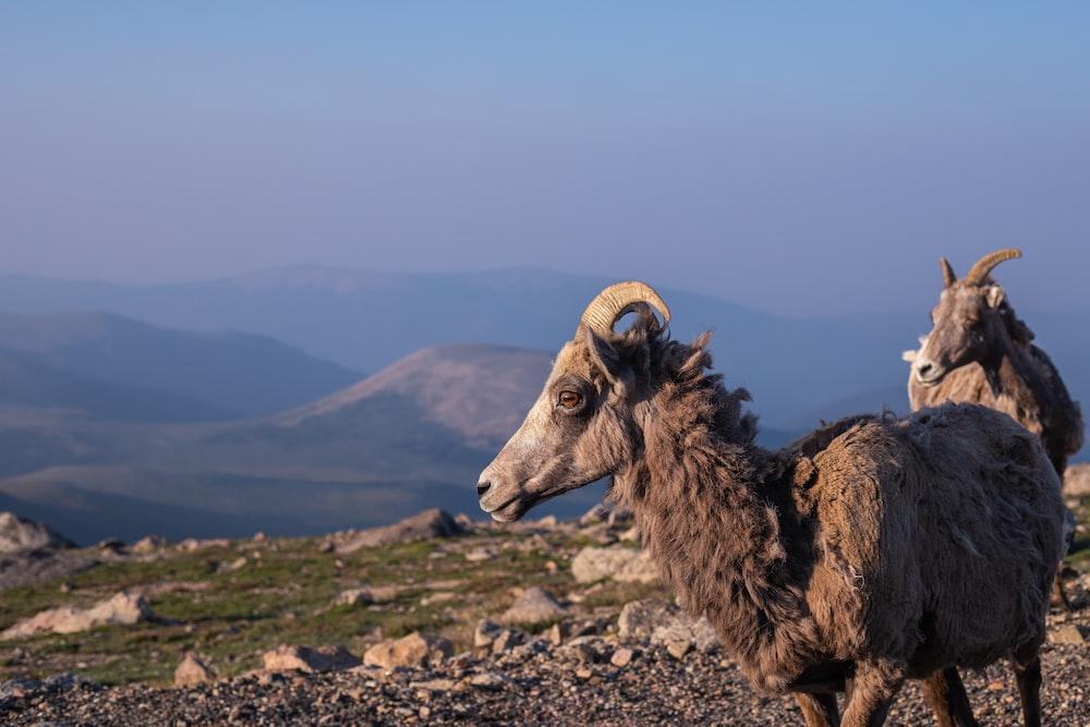 brown ram on gray rocky ground under blue sky during daytime