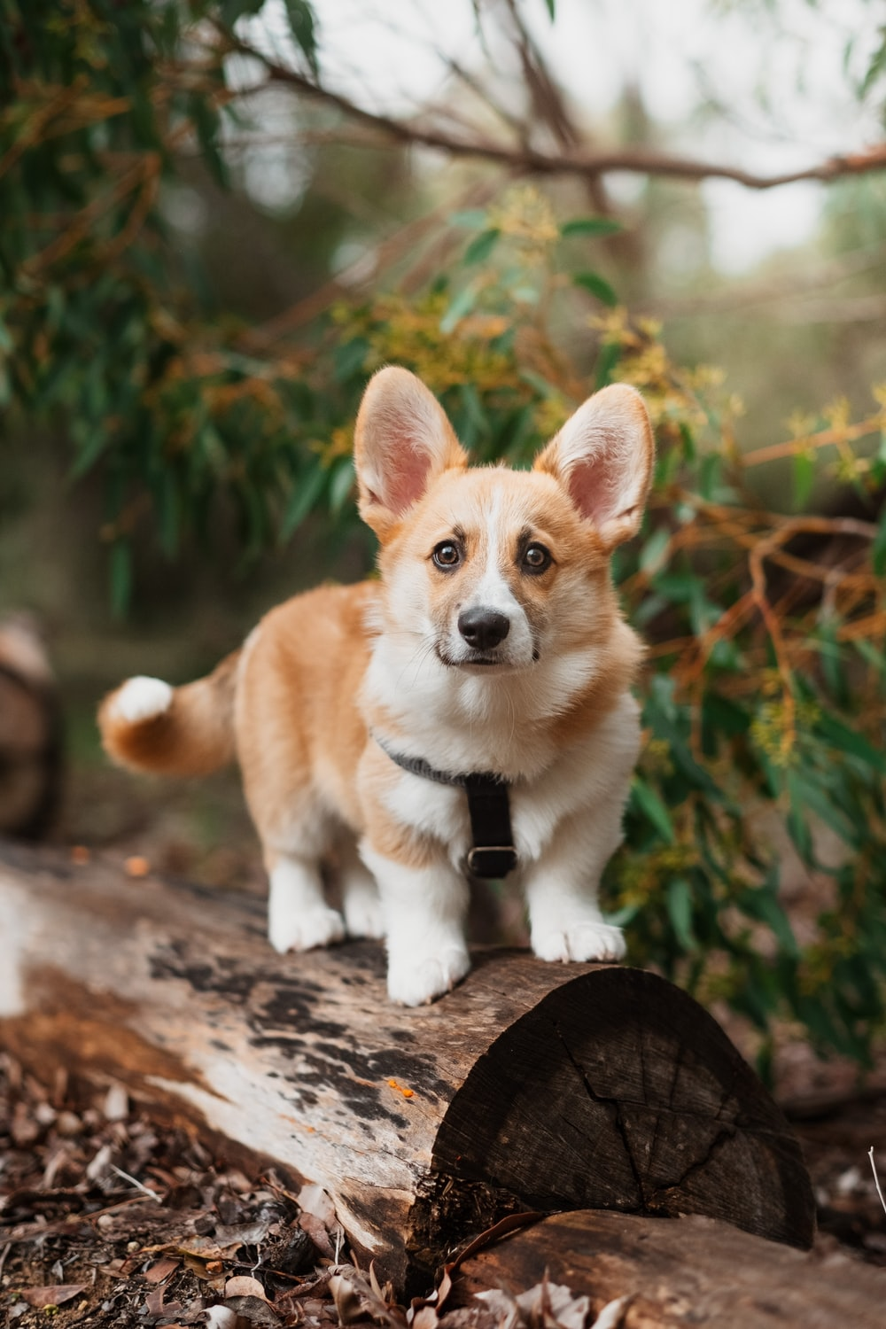 brown and white corgi puppy on brown wooden log during daytime