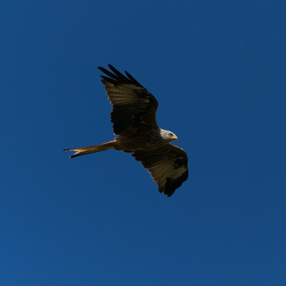 brown and white eagle flying in the sky