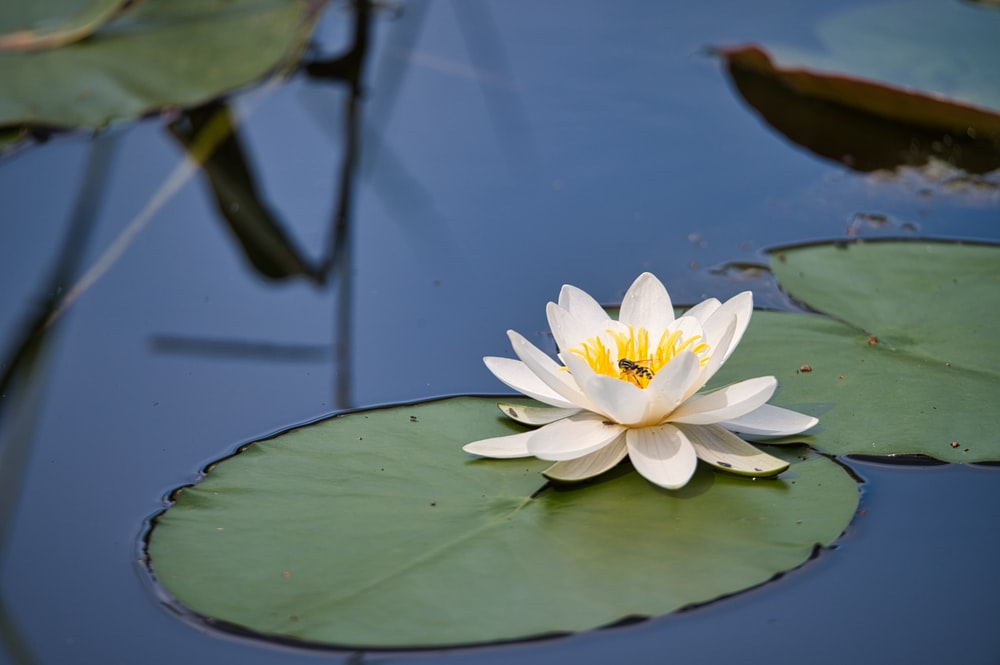 white and yellow lotus flower in bloom