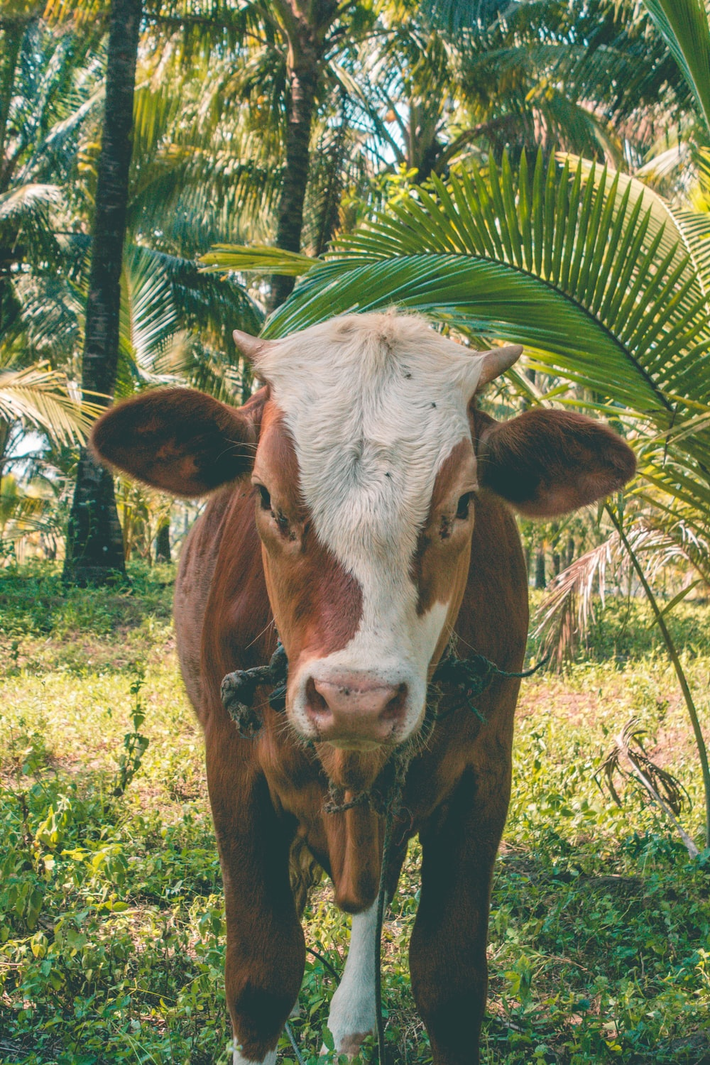 brown and white cow eating grass during daytime