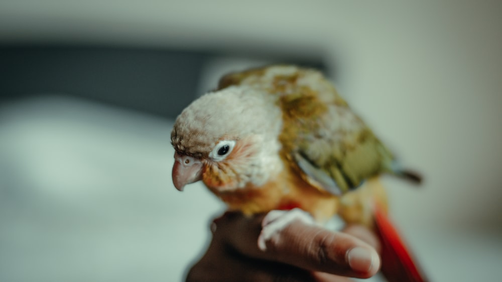 brown and yellow bird on persons hand