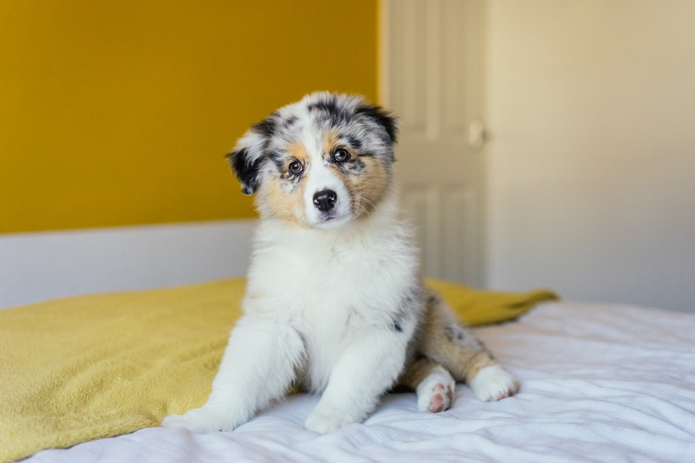 white black and brown short coated dog lying on yellow textile