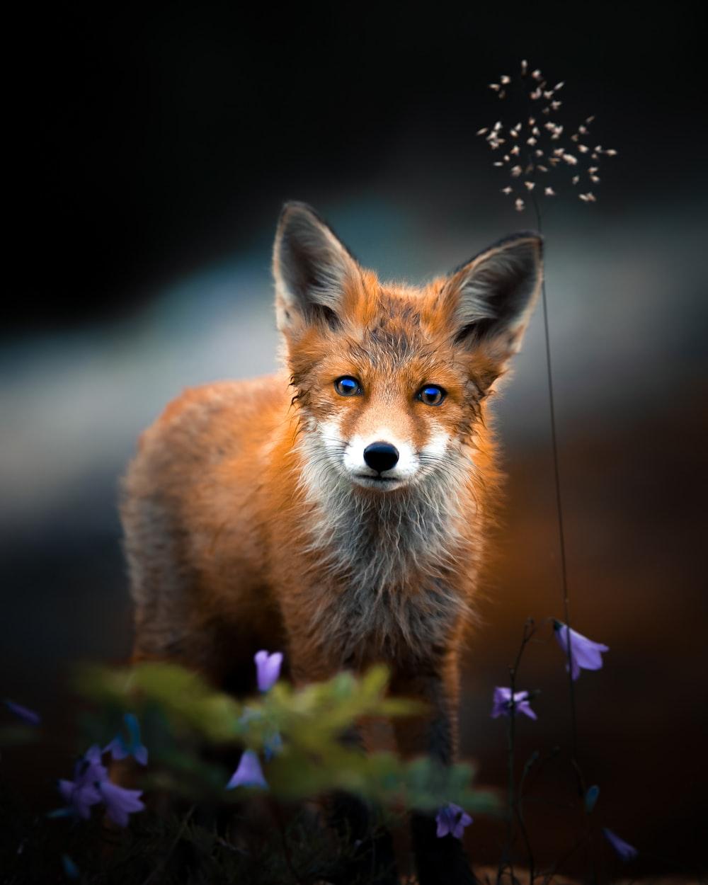 brown fox on purple flower field