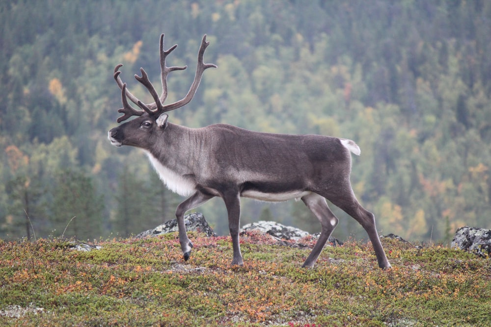 gray and white deer on green grass during daytime