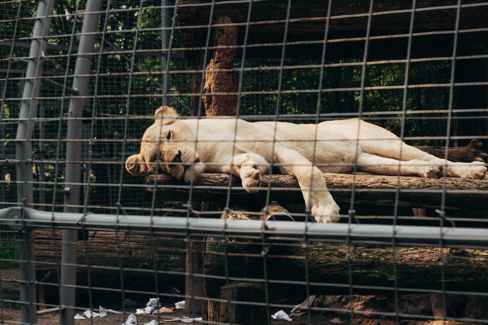 white tiger lying on black metal cage