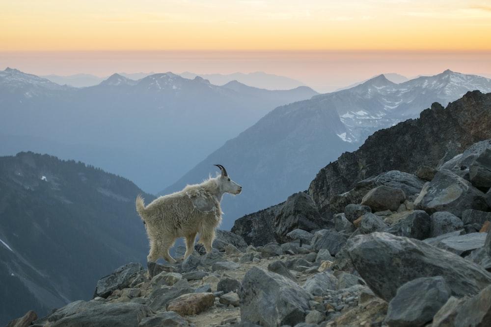 white and brown 4 legged animal on rocky mountain during daytime