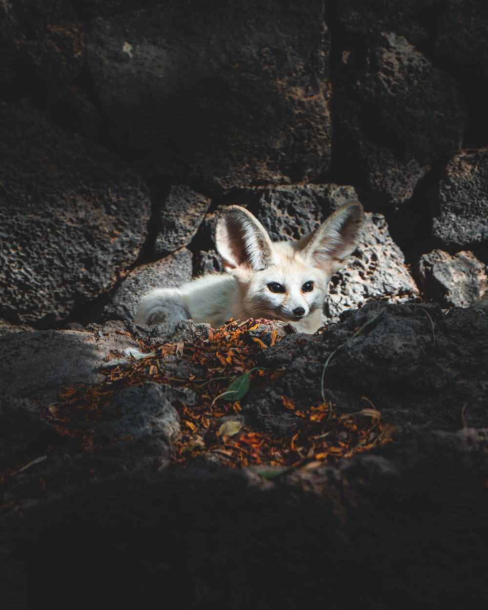 white and brown fox lying on ground