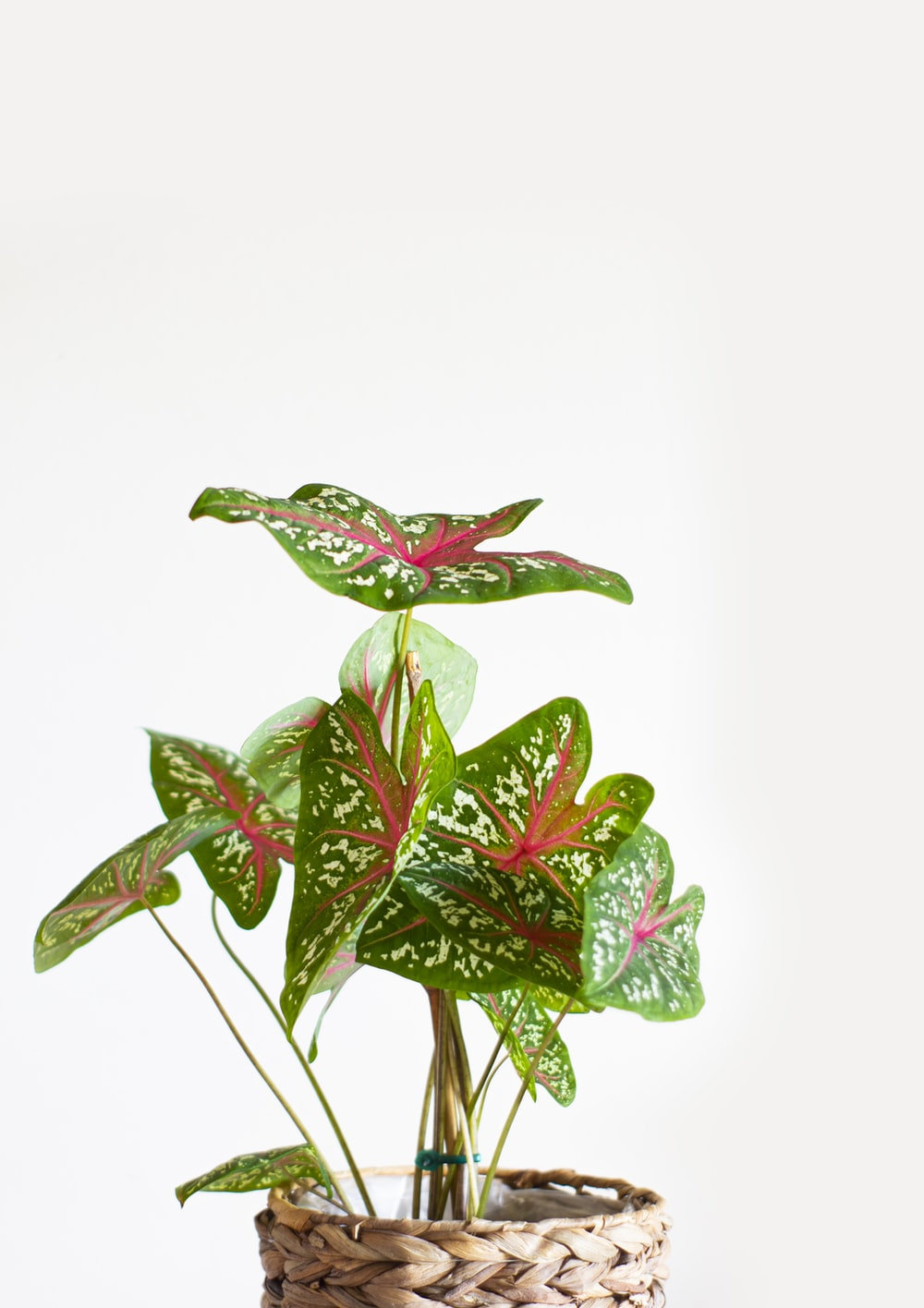 red and green leaves on white background