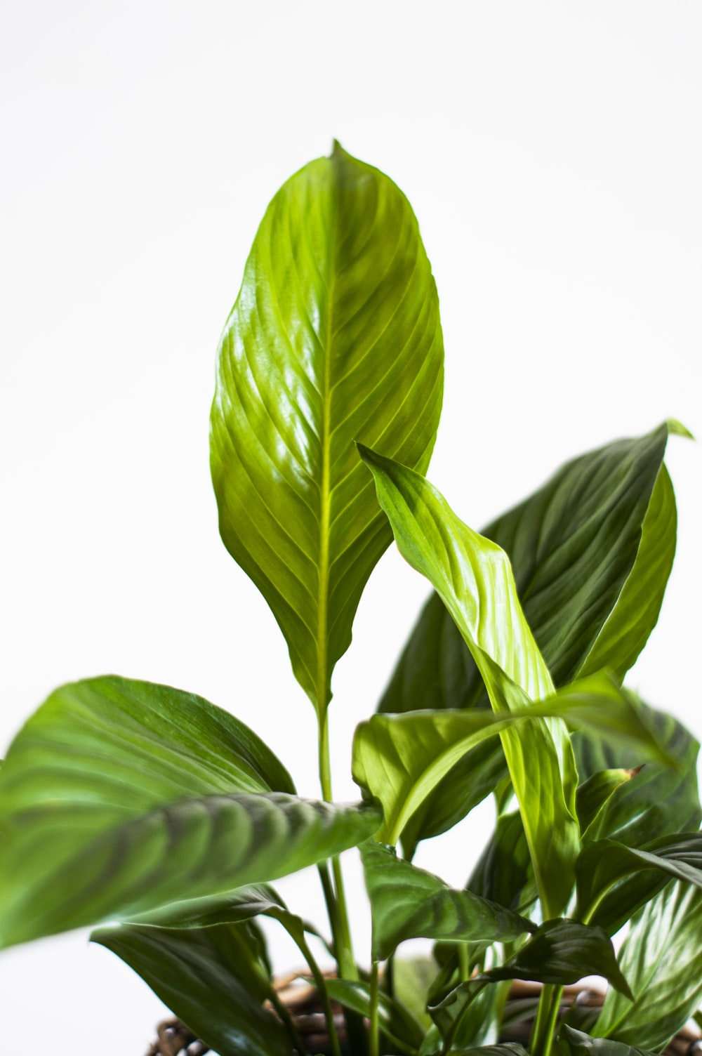 green leaves with white background