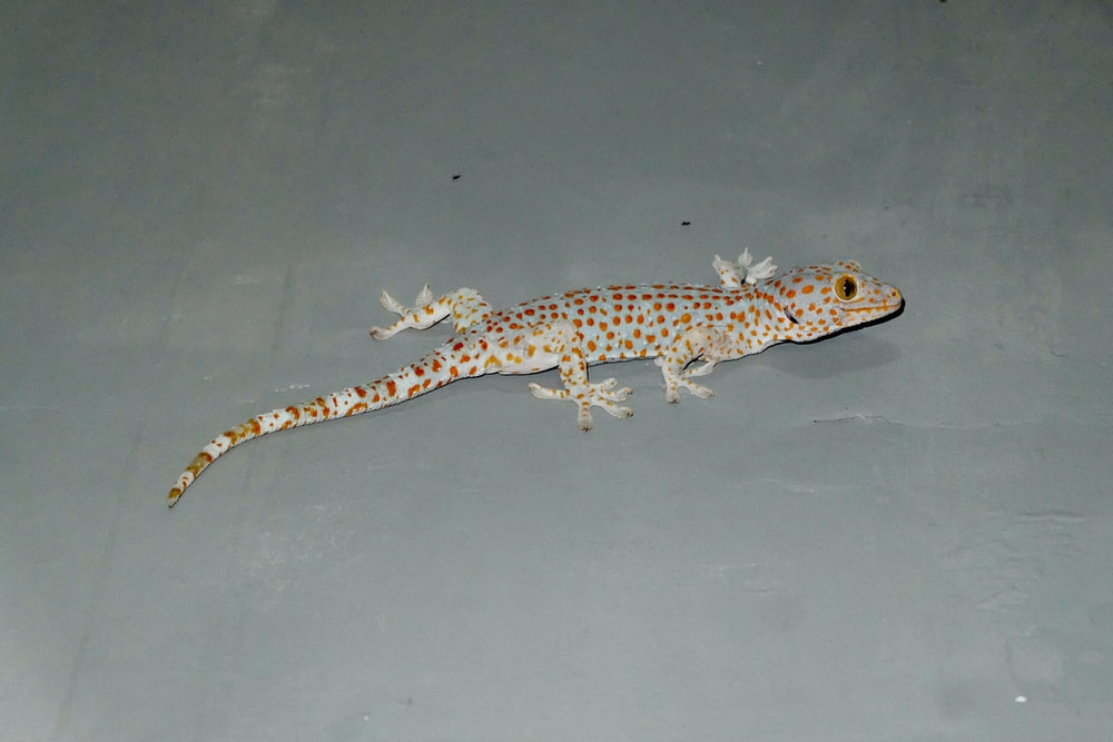 brown and black lizard on white surface