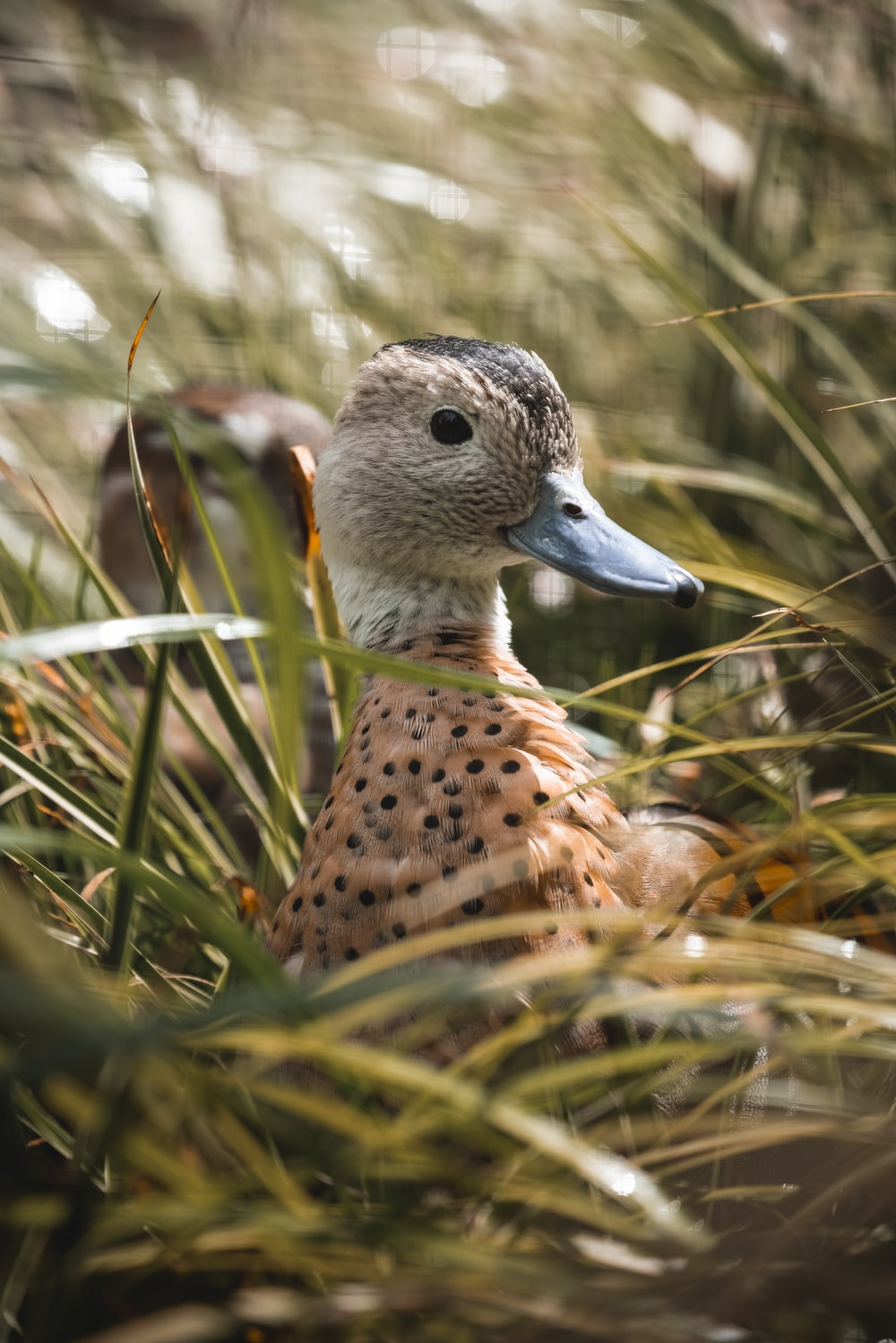 brown and black duck on green grass