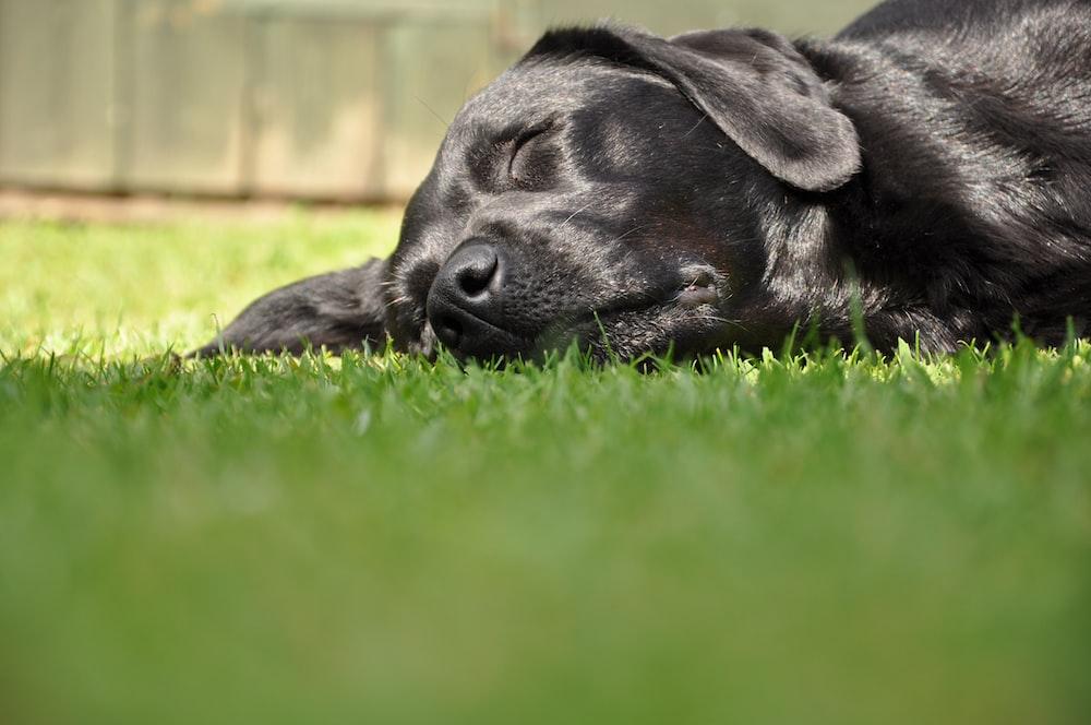 black labrador retriever lying on green grass field during daytime