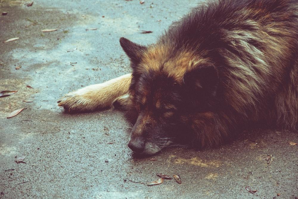 black and tan german shepherd lying on ground