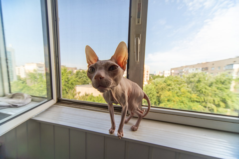 brown chihuahua on window during daytime