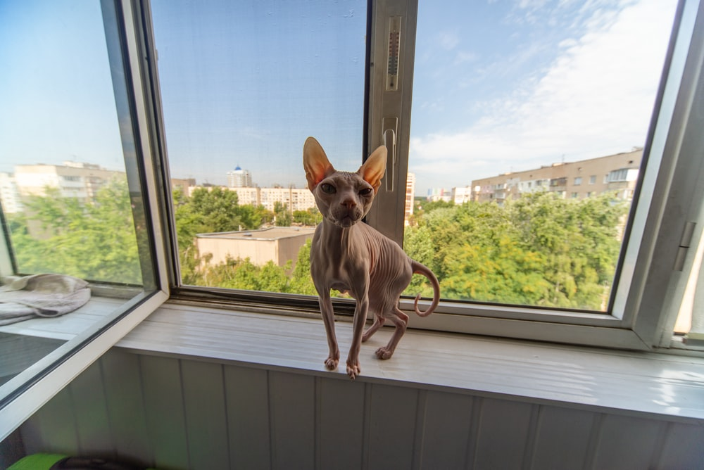 brown chihuahua on white wooden window