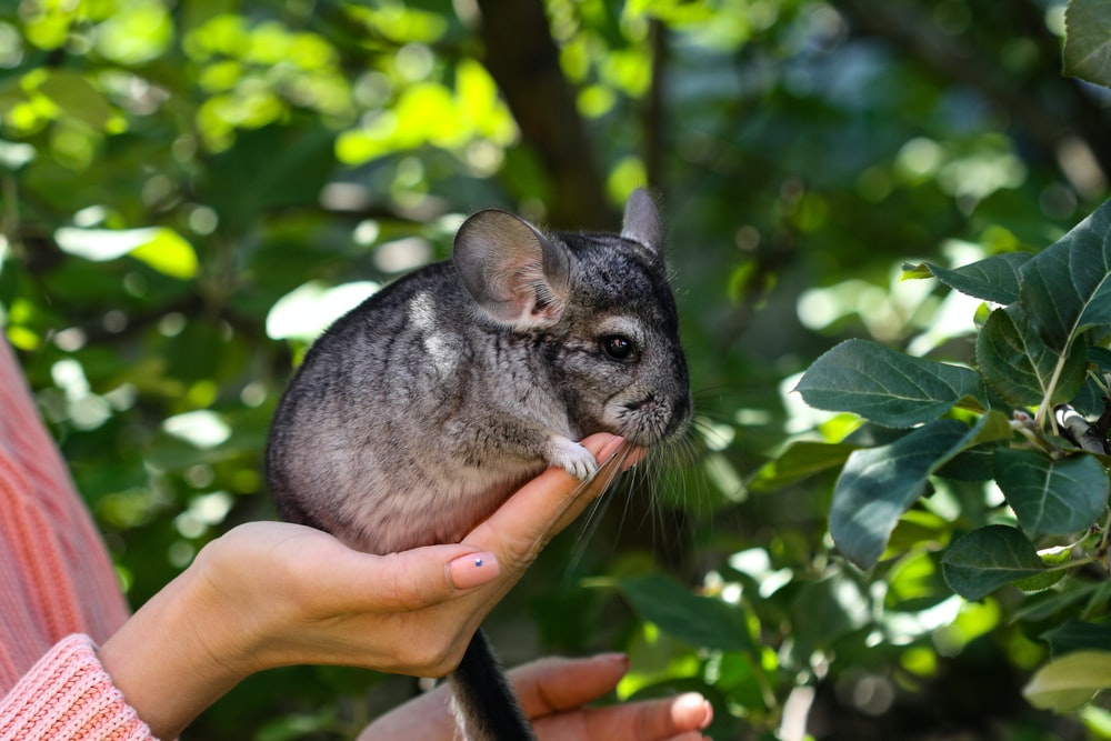 gray rabbit on persons hand